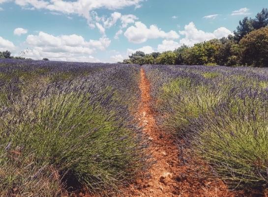 Drôme provençale-champs de lavande